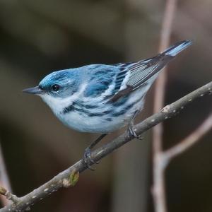 Голубой лесной певун