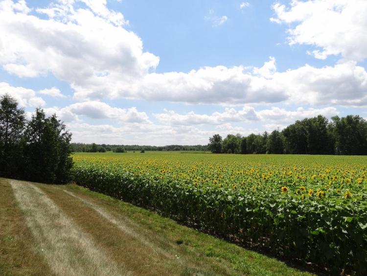 Поля подсолнечников на ферме Боглов (Bogle Seeds)