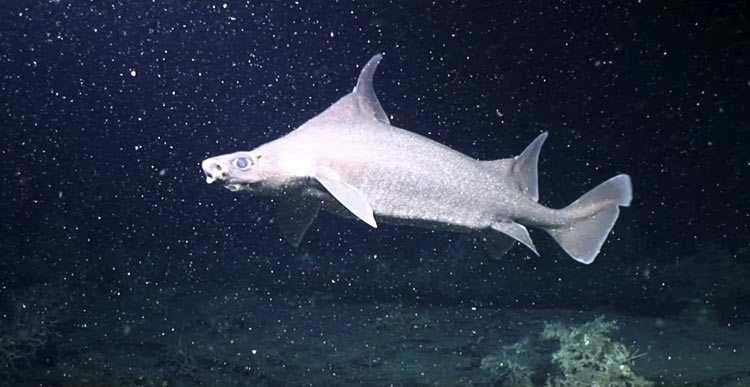 "На глубине 750 метров дрон снял редкий акулий питомник"""