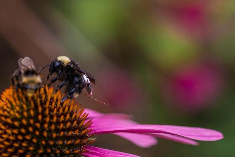 """Пчелы с крошечными сенсорными «рюкзаками» помогут фермерам обследовать поля"""""""