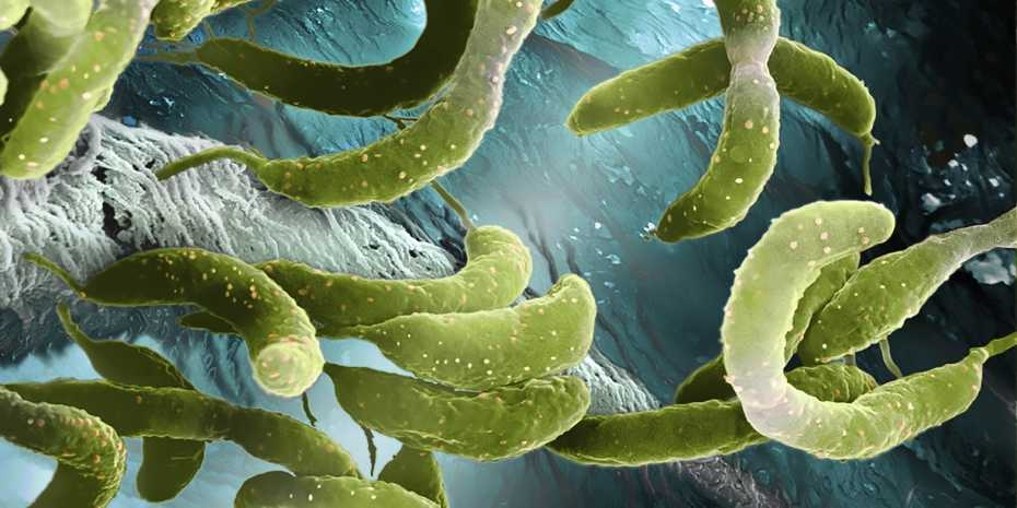 Caulobacter crescentus. Electron microscope image: Science Photo Library / Martin Oeggerli