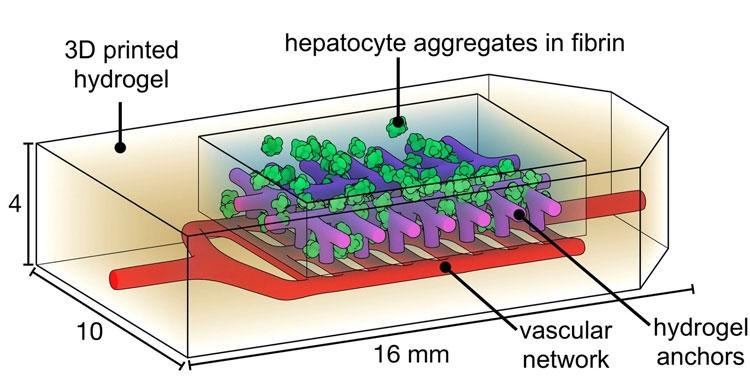 Элемент искусственной печени с живыми клетками (Jordan Miller/Rice University)