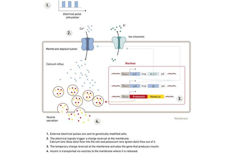 Схема стимуляции клеток электрическими импульсами для воздействия на гены, ответственные за выработку инсулина