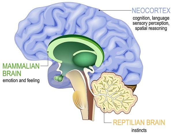 Neocortex назван в честь области мозга, отвечающей за функции высокого порядка, включая когнитивные способности, сновидения и формирование речи