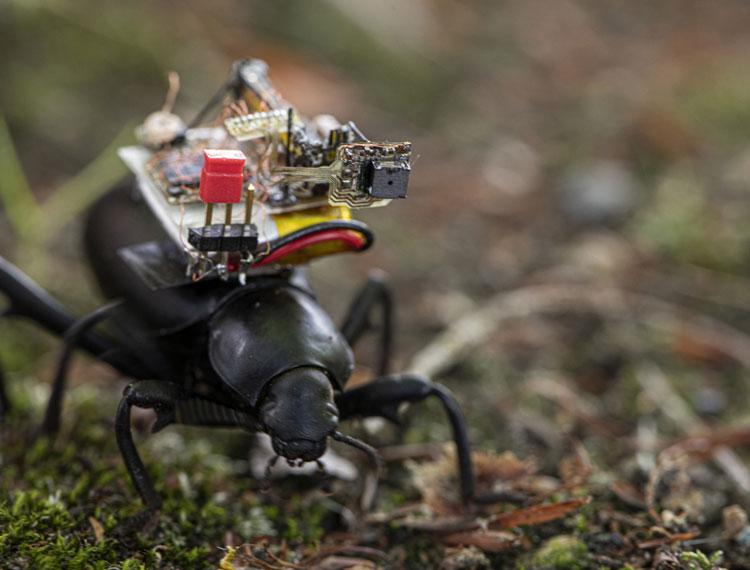 Камера с беспрводнм подключением на спине у жука (Mark Stone/University of Washington)