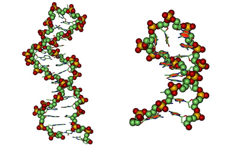 Так выглядят структуры смоделированных и полученных аптамеров