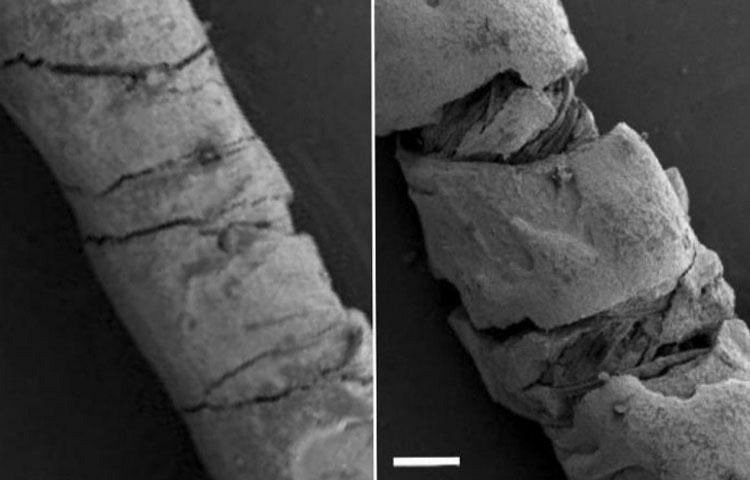 Слева натянутя нить, справа — согнутая. Размер белой шкалы — 200 мкм. Источник изображения: Yiwen Jiang, Tufts University