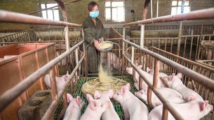 """Huawei заинтересовалась свиноводством и угольными шахтами на фоне падения продаж смартфонов"""""""