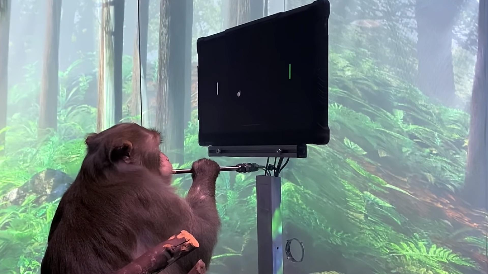 Видео: обезьянка играет в пинг-понг на компьютере при помощи импланта Neuralink