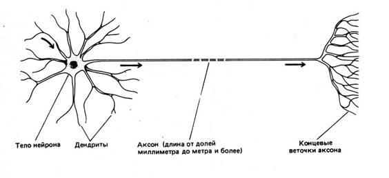 Пример строения нервной ткани головного мозга